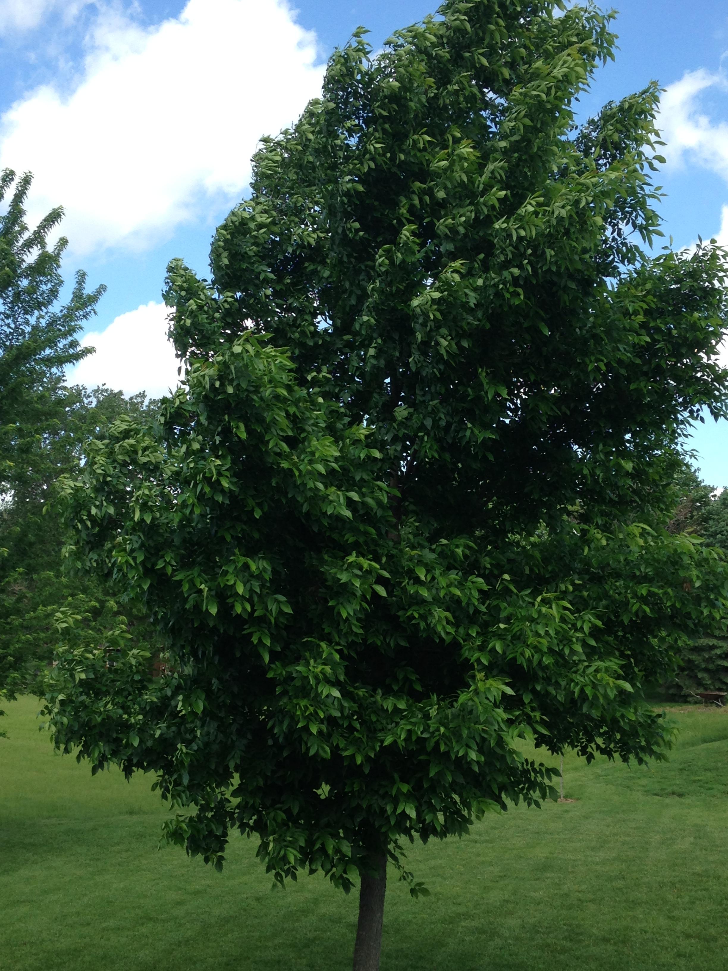 Background - Summer Tree