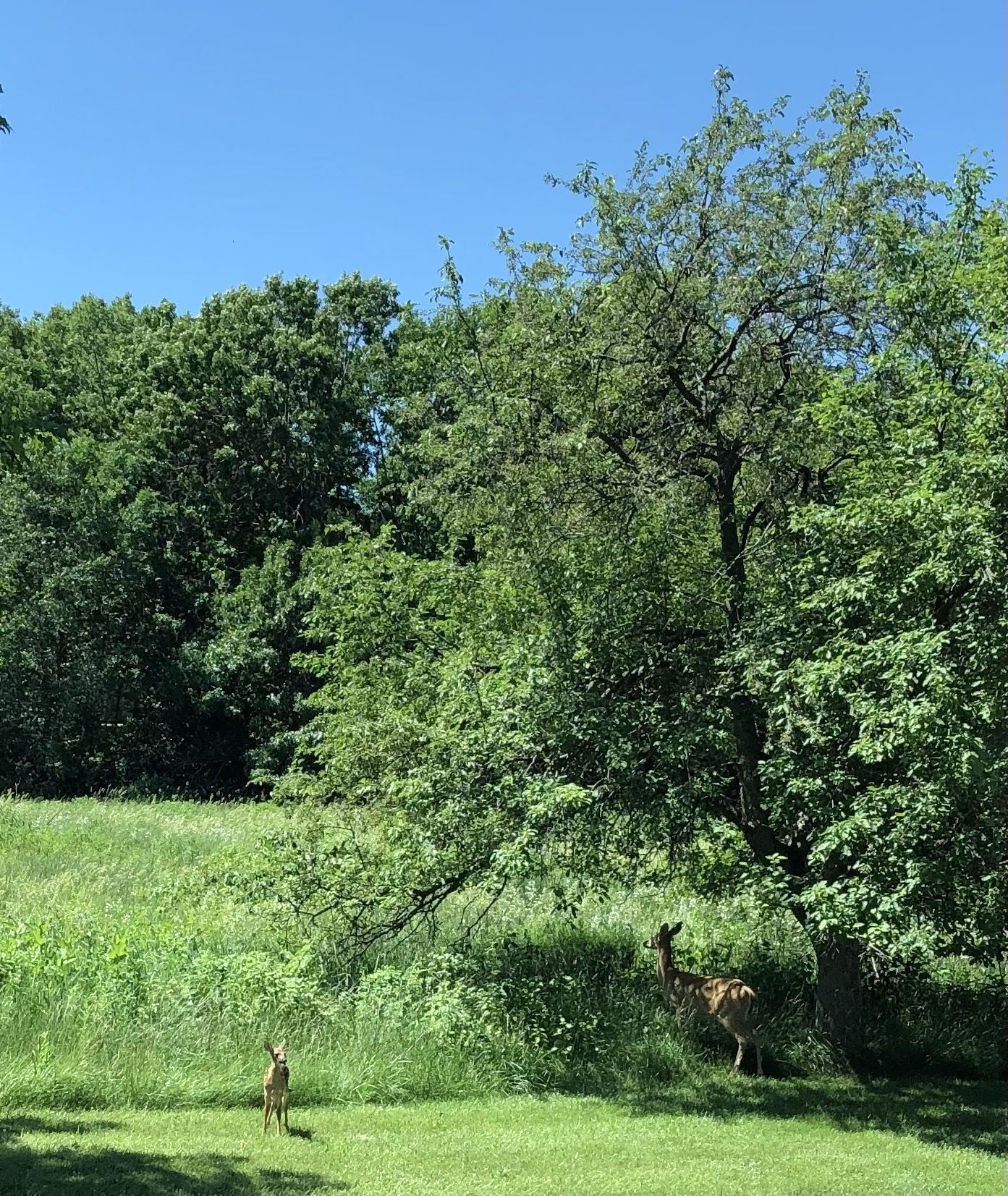 Mama and baby deer 0621